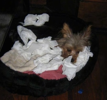 A Yorkshire Terrier dam in a dog bed covered in blankets and tissues