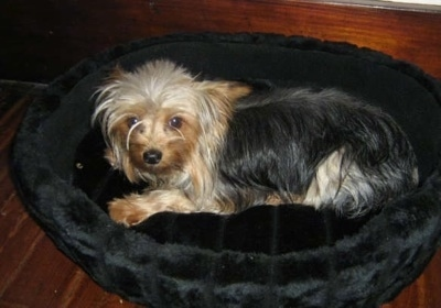 A Yorkie dog laying on a black dog bed