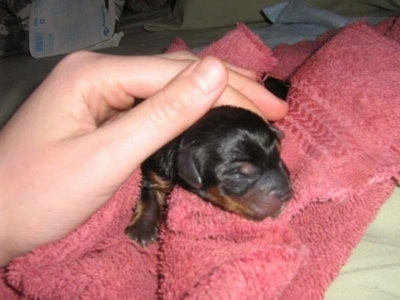 A newborn Yorkie puppy on a pink towel with a person's hand petting it