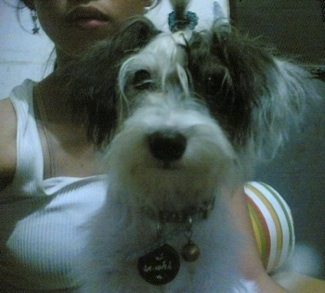 A fluffy white with black West highland Doxie dog is sitting in a ladies lap. The dog looks very soft and its ears hang down to the sides with thick hair and a dark nose and dark round eyes.