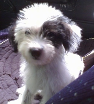 A soft looking fluffy white with black West Highland Doxie puppy that is sitting on a rug in the backseat of a vehicle.