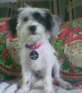 A white with black West Highland Doxie is sitting on a bed and it is looking forward. It has a pink collar on with a medallion dog ID tag around its neck.