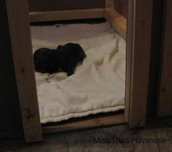 A little black Havanese puppy is sleeping on a towel in a whelping box.