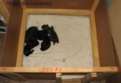 Top down view of five Havanese puppies that are laying on a towel inside of a square wooden whelping box.