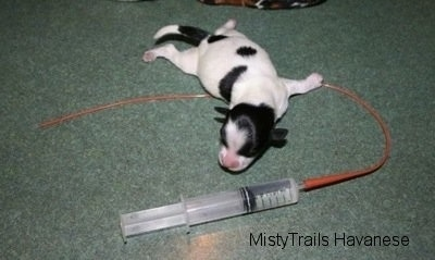 Trying To Save A Puppy Subq Hydrating A Puppy And Tube Feeding
