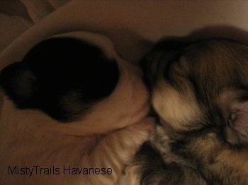 Two puppies laying nose to nose