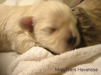 Close Up - Preemie puppy laying on a towel