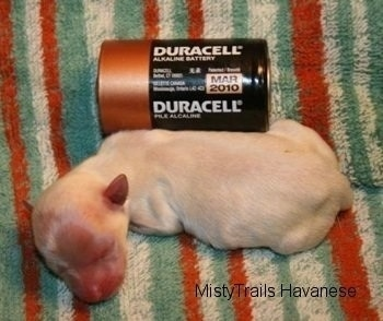 A Preemie next to a Duracell battery for size comparison