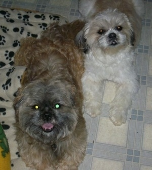 The Lhasa-Apso dam and Melinda the Lhasa-Apso sire