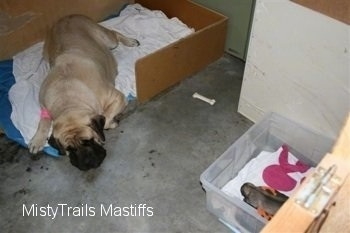Sassy the Mastiff laying across from the puppy who is in a plastic bin