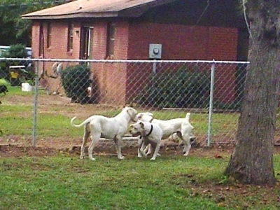 Three White English Bulldogs are bunched up near each other in front of a fence. There is a brick house in the background.