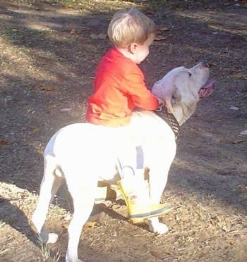 The back right side of a White English Bulldog that has a toddler sized boy in an orange shirt leaning against its back. The dog has a thick black leather collar with spikes on it.