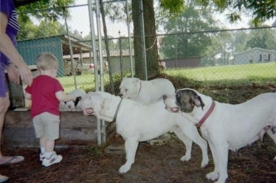 The left side of three White English Bulldogs that are standing in dirt across from a toddler and a lady in a purple shirt outside in a chain link fenced yard under the shade of trees.