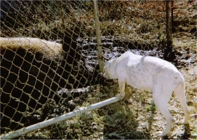 The back left side of a White English Bulldog that is sniffing a hog through a gate. You can see the dark pigment spots under its white thin coat.