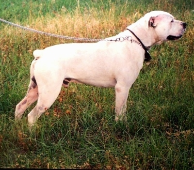 Side view of a large breed thick white bully looking dog with a very small docked bob tail, a thick head, small rose ears and a black nose facing the right in a field of grass.