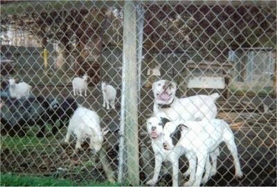 Three White English Bulldogs are standing behind a chain link fence on a farm across a herd of goats. Two of the white dogs have black patches on their faces and one has a brown patch.