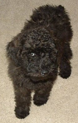 Front view - A wavy thick coated, black Whoodle puppy is standing across a carpeted surface and it is looking up.