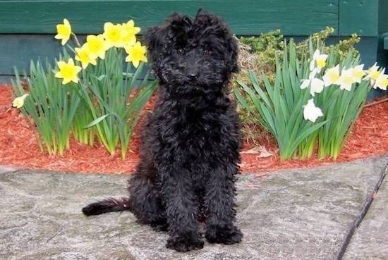 A curly black fluffy haired Whoodle dog is sitting on a sidewalk in front of a flower bed of daffodils looking forward. It has dark round eyes and a black nose.