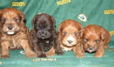 A litter of Mini Whoodle puppies that are sitting on a Green Bay Packers blanket on a couch. Three of the pups are reddish tan and one is dark brown.