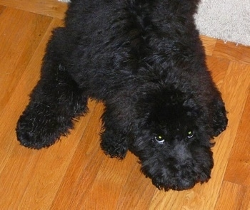 Top down view of a thick coated, black fluffy Whoodle puppy that is laying down partially on a hardwood floor and a rug. The dog is looking up with its eyes.