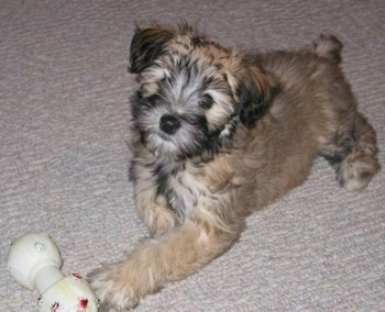 The front left side of a fluffy, soft looking, brown with black Whoodle puppy that is laying across a carpeted surface. It is looking up and its head is slightly tilted to the right. It has a toy in front of it.