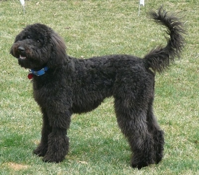 The left side of a fluffy black Whoodle that is standing across a yard and its mouth is open slightly. It has a long tail that is curled up in the air and longer hair on its ears that hang down to the sides.