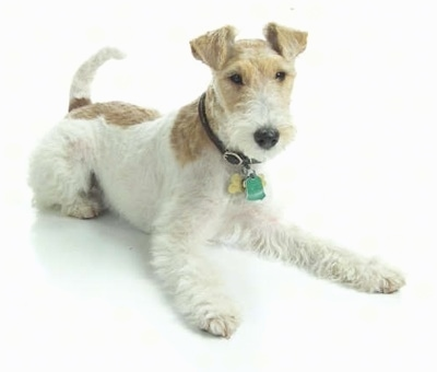Wire Fox Terrier  AKC ...