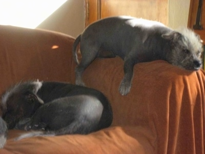 Two black Xoloitzcuintli dogs are sleeping on a couch. One is fat and is on the arm of the couch and the other one is laying on the seats. Both dogs are hairless with peach fuzz on their heads and tips of their tails.