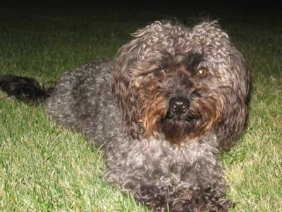 The front right side of a curly coated, grey with black Yorkipoo dog laying across a grass surface looking forward. It has wide round brown eyes and a black nose. The hair around its face is rust brown in color.