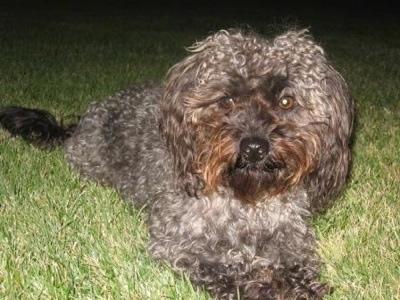 Chewie is an F1b-class Yorkipoo. He is Pepper's best friend.