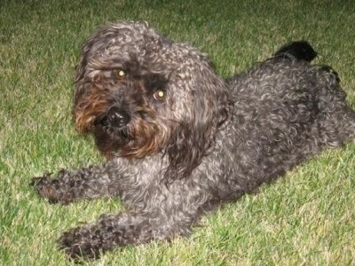 The front left side of a curly coated grey with black Yorkipoo dog laying across a grass surface. It has wide round dark eyes that are glowing green and a black nose.