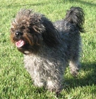 The front left side of a long thick wavy coated, grey with black Yorkipoo dog that is standing across a grass surface, its mouth is open, its tongue is sticking out and it is casting a shadow.