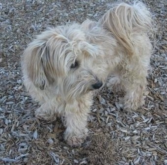 A tan with white Yorkipoo is standing across an area with woodchips on the ground and it is looking to the right. Its tail is curled up over its back with long hair coming from it. It has long hair on its drop ears.