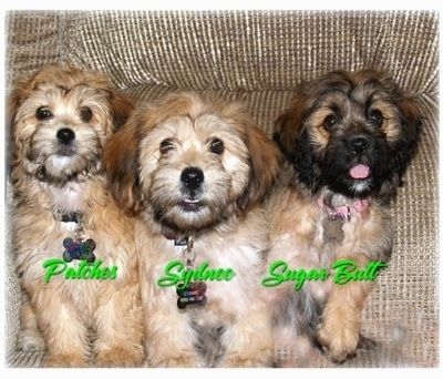 Three Yorkipoo puppies are sitting on a couch and they are all looking up. The words - Patches, Sydnee and Sugar Butt - are overlayed over each dog. The firs two puppies are various shades of tan and the third one is tan with black on its face. They all have black noses and dark round eyes.