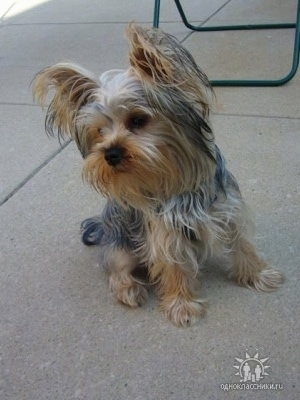 A small black with brown Yorkshire Terrier dog sitting on a concrete block looking forward. It has long hair hanging from its perk ears. At the bottom right of an image there is a logo.