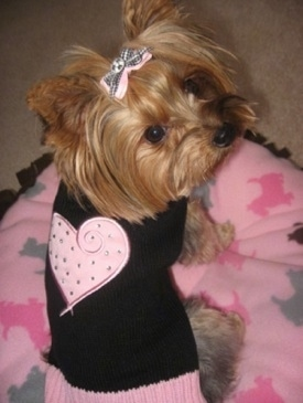 Topdown view of the back of a toy-sized, tan Yorkshire Terrier dog sitting on a pillow and it is looking to the right. The Yorkie is wearing a black T-shirt with a big pink heart on its back and it has a pink bow in its hair.