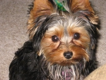 Close up - A black with brown Yorkshire Terrier puppy is sitting on a carpet and it is looking up. It has perk ears, wide round dark eyes, a small black nose and longer hair around its face and neck.