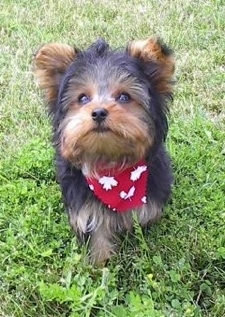 A small soft, thick coated, black with brown Yorkshire Terrier puppy walking across a grass surface wearing a red bandana and it is looking up. It has small triangular ears that stand up and slightly fold over to the front with lots of hair around them.