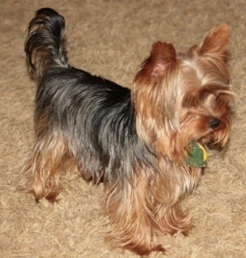 The black and reddish-tan yorkshire Terrier is standing across a long tan carpeted surface. It is looking to the right and its long tail is in the air.