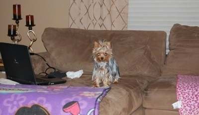 A tiny little tan and gray Yorkie dog standing on a couch and it is looking forward. To the left of the toy-sized dog is a laptop on top of a Dora the Explorer blanket.