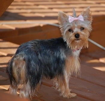 The right side of a black and cream Yorkshire Terrier that is standing across a wooden porch and it is looking over at the camera. The Yorkie has a pink ribbon in its hair. Its coat is shorter on its head and longer on its body. Its tail is hanging down low.