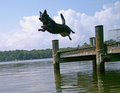 Tilly the Australian Cattle Dog is in mid-air jumping into the water off of a dock