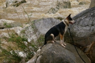 Hitman the Panda Shepherd is sitting on a boulder with rushing water behind him.