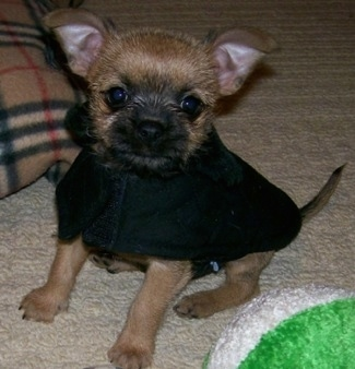 The front left side of a tan with black mask Affenhuahua puppy in a sweater on a carpet