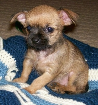 The front left side of a tan with black mask Affenhuahua puppy is sitting on a knitted blanket