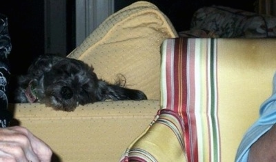 The right side of a black Affenpoo that is sleeping on the arm of a couch