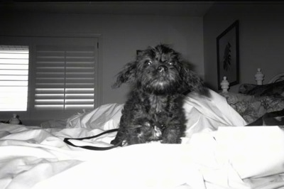 A black and white photo of a black Affenpoo puppy that is standing on a bed