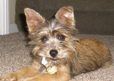 Rudy the Norwich Terrier-Affenpincher Terrier cross puppy at 4 months old.
