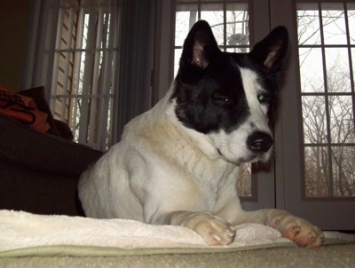 The front right side of a white with black Akita that is laying across a blanket with windowed doors behind it.