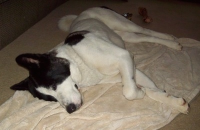 The left side of a white with black Akita that is sleeping on its side on a blanket